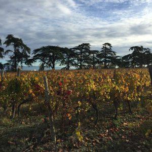 vigne-cedres