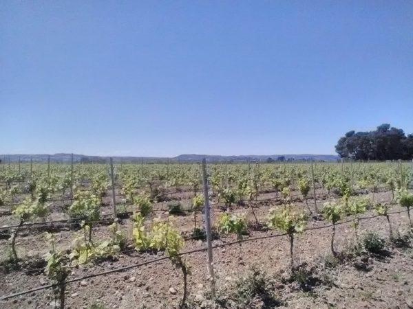 Chardonnay spring 2019 Travail du sol avant pluie